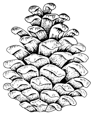Coloring Page Pine Cone